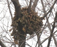 Squirrel Leaf Nest