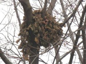 Squirrel Leaf Nest