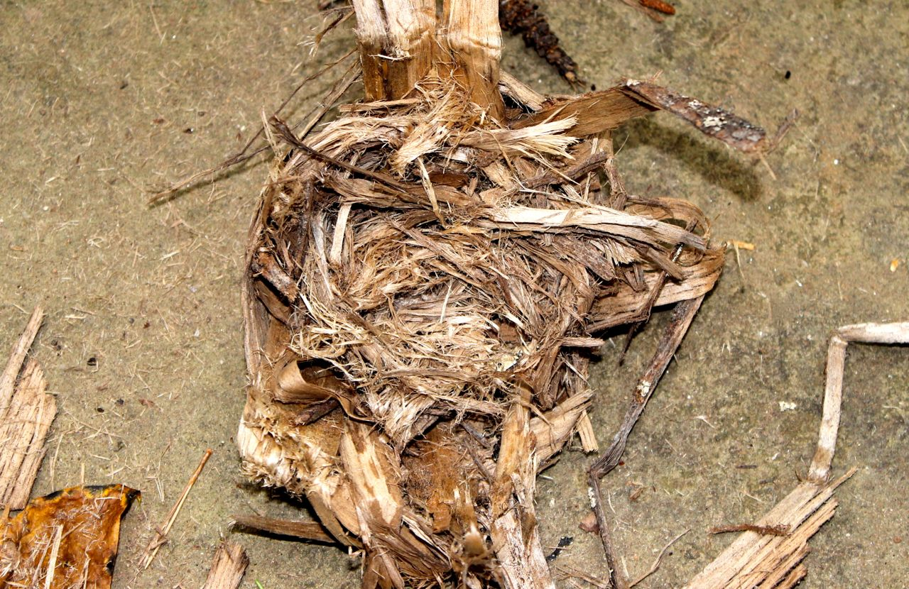 Next, the inner bark is pulled apart and rubbed between the hands to create a COARSE tinder.