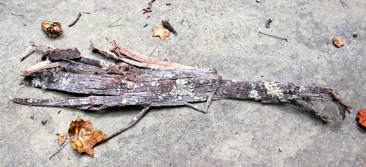 Tulip tree bark pulled from a dead branch or tree. The outer (gray) bark is pulled away from the fibrous inner bark