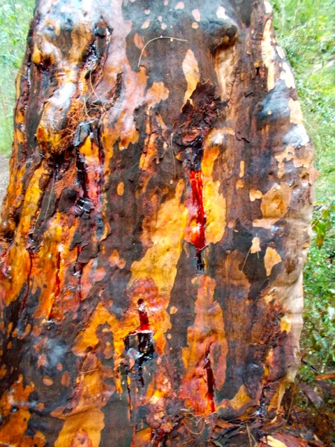 One of many varieties of Eucalyptus, this one oozing sap.
