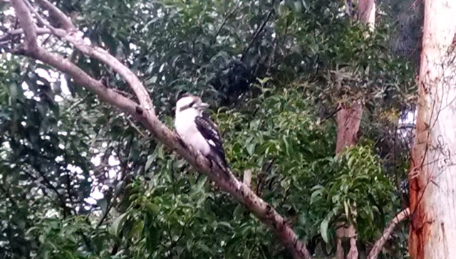 A Laughing Kookaburra we saw in the bush.