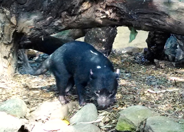 Tasmanian Devil.  These poor guys are endangered due to a contagious facial cancer.