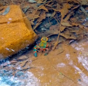 Yabby we spotted in Red Hands Creek.