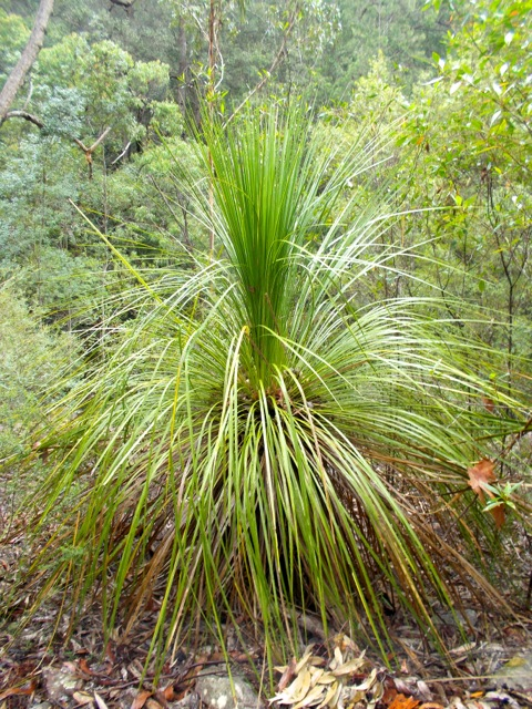 Grass tree minus the flower stalk used as a spear.