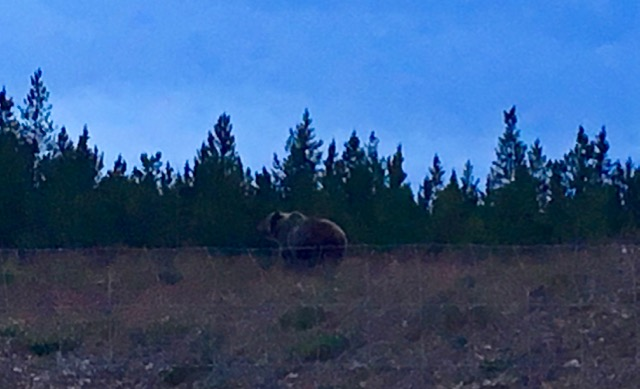 Late night grizzly -- the sun would set this far north, but it never got totally dark.